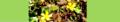 Oxalis corniculata. Reader.png