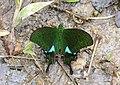 P. paris battacorum (33504448386).jpg