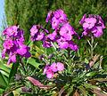 P1320086 49 Ste Gemmes sur Loire jardin méditerranéen fleurs rwk.jpg