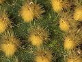 P20140125-0002—Opuntia microdays (12138121704).jpg