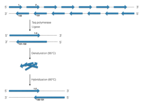 Synthetic genomics - Polymerase Cycling Assembly. Blue arrows represent oligonucleotides 40 to 60 bp with overlapping regions of about 20 bp. The cycle is repeated until the final genome is constructed.