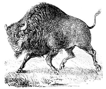 PSM V10 D709 The bison or buffalo.jpg