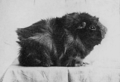 PSM V77 D433 Dark rough coated guinea pig is the result of cross combination.png