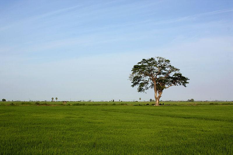 File:Paddy field in Sammanthurai, Ampara, Sri Lanka.JPG