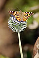 Painted Lady Butterfly (4023032698).jpg