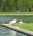 Palace of Versailles Swans (5986787467).jpg
