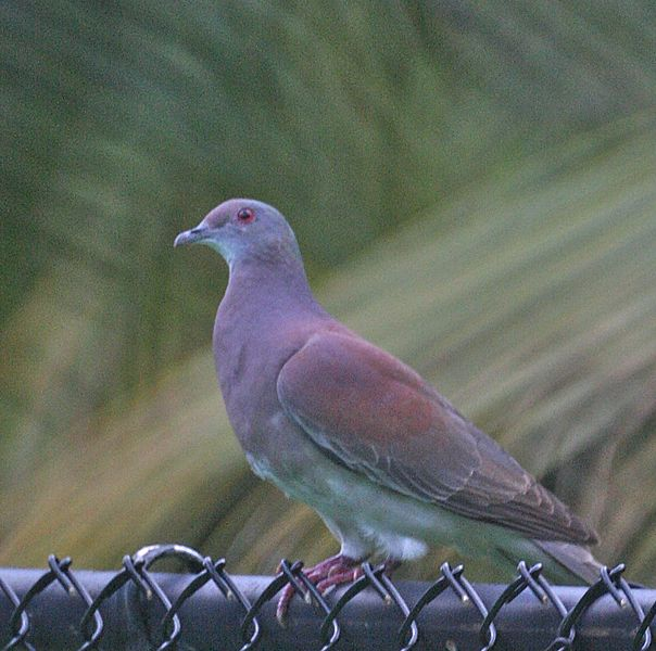 File:Pale-vented Pigeon (cropped).jpg