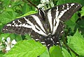 Pale Tiger Swallowtail.jpg