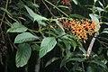 Palicourea thyrsiflora 2.jpg