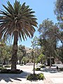 Palm tree lined avenue in Copiapo (4320370343).jpg