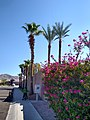 Palm trees with Bougainvillea 2.jpg