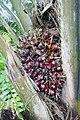 Palmiers à huile à Ribeira Peixe (São Tomé) (8).jpg