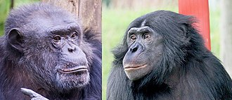 Pan (genus) - Common chimpanzee (Pan troglodytes) (left) and bonobo (Pan paniscus) (right)