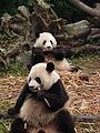 Pandas Chengdu.JPG