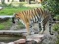 File:Panthera tigris1.ogv