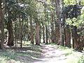 Paper Barks near Hole 9.JPG