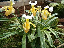小叶兜兰(Paphiopedilum barbigerum)