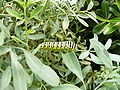 Papilio machaon 1280625.JPG