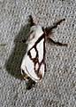 Parapluda invitabilis (Limacodidae- Limacodinae) (26599463194).jpg