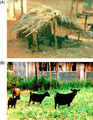 Parasite130113-fig2 Haemonchotolerance in West African Dwarf goats.png