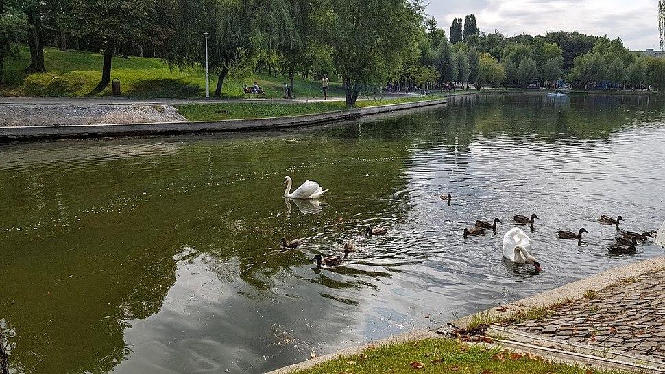 Lebede și rațe în Parcul Alexandru Ioan Cuza