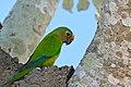 Peach-fronted Parakeet (Aratinga aurea) (28793620806).jpg