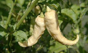 Peach Bhut Jolokia Ghost Pepper.jpg