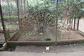 Peacock bird in the cage.jpg