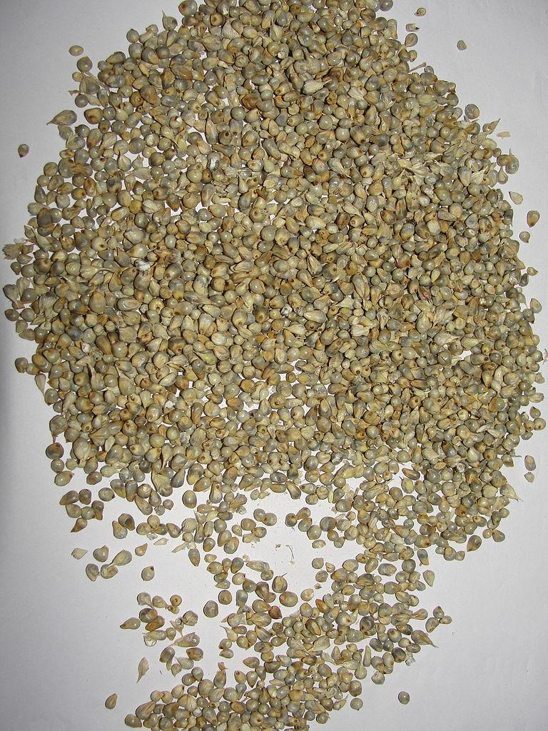 uses of pearl millet pdf