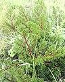 Pelargonium triste - Kenwyn Nature Park - Cape Town - Leaf detail 1.jpg