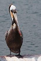 Pelican 4994.jpg
