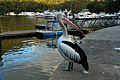 Pelican at Berowa Waters, North of Sydney, Australia (3517245169).jpg