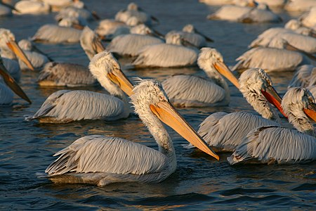 A flock of pelicans resting at lake Kerkini, Greece