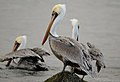 Pelicans overwintering at Oregon Coast NWR (6366883889).jpg