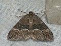 Perizoma bifaciata - Barred rivulet - Ларенция очанковая тёмная (40248212334).jpg