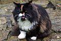 Persian Cat UK.jpg