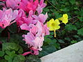 Persian cyclamens and Bermuda buttercups.jpg