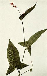 Persicaria arifolia WFNY-048B.jpg