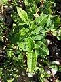 Persicaria lapathifolia subsp. brittingeri sl4.jpg