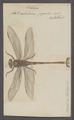 Petalura - Print - Iconographia Zoologica - Special Collections University of Amsterdam - UBAINV0274 067 03 0016.tif