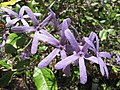 Petrea flowers - Iao Tropical Gardens of Maui (9286156507).jpg