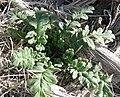 Phacelia fremontii 4.jpg