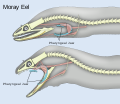 Pharyngeal jaws of moray eels.svg