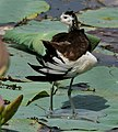 Pheasant-tailed Jacana (Hydrophasianus chirurgus)- Breeding- preening after bath in an Indian Lotus (Nelumbo nucifera) Pond in Hyderabad, AP W IMG 7883.jpg