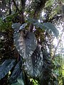 Philodendron Guadeloupe 97128 (2).jpg