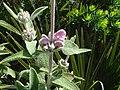 Phlomis purpurea 3.JPG
