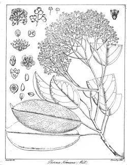Photinia integrifolia Govindoo.jpg