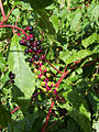 Phytolacca americana Chocowinity NC.jpg