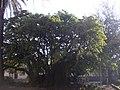 Phytolacca dioica (ombú) 2 Plaza Barrancas, Belgrano, Buenos Aires.jpg