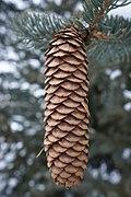 Picea asperata, Arnold Arboretum (32080173332) .jpg